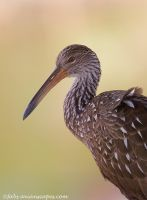 Limpkin portrait by FForns