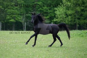 solid black arabian stallion cantering by slime-stock