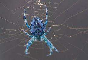 Blue Spider by Carlosfandango