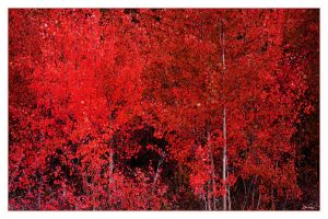 Red Aspen by chromosphere