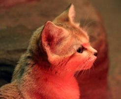 Sand Cat Stock 9 by HOTNStock