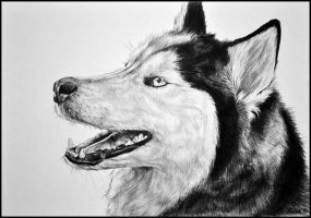 Drawing- Husky by Ennete