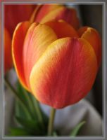 Tulips. Natural light by mirator