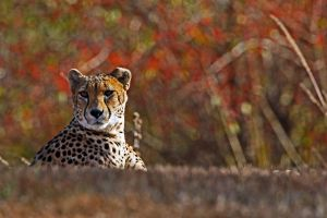Cheetah by clippercarrillo