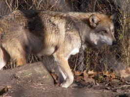 Mexican Wolf Stock 7 by HOTNStock