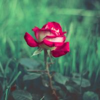 Evening Rose by Innette