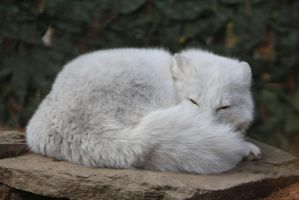 Arctic Fox Stock 7 by HOTNStock
