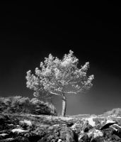 a tree stands alone BW version by Pandinus