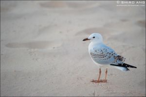 Silver Gull - 04 by shiroang
