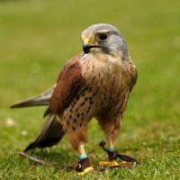 European Kestrel... by quaddie