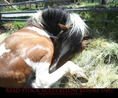 Unusual Angle 02 Paint Pony by AstriexEquineStock