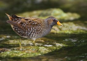Knee deep in sludge - Spotted Crake by Jamie-MacArthur