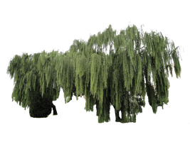 Weeping willow plant cut-out by Simbores