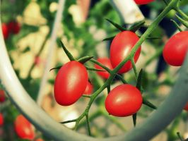 Cherry Tomatoes by WillTC