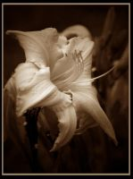 Sepia Lily by romirose22