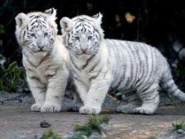 white tiger cubs by buggy12