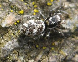 Zebra Spider by iriscup