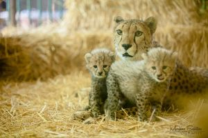 Cheetah Babys by spike83