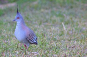 Crested pigeon 3 by Tamamantix