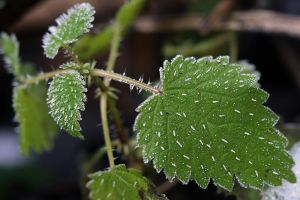 frosty nettles by organicvision