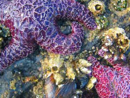 Purple Starfish by Sing-Down-The-Moon