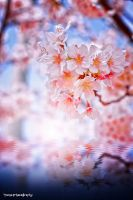 Sakura Illusion by WindyLife