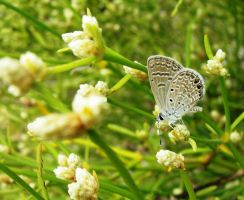 Galapagos Blue Butterfly by Serendith