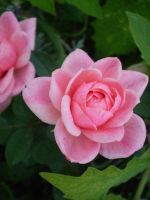 Little pink rose by gsdark-stock