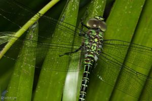 Regal darner dragonfly by CyclicalCore