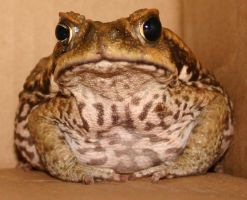Cane Toad.2 by StockOfAnimals