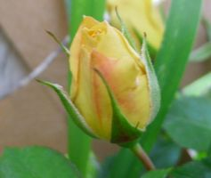 Yellow Rosebud by Prism-of-colors