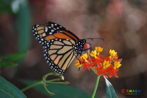 Monarch Butterfly 1 by Zmachi