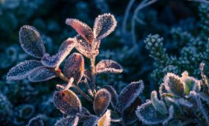ice flowers by snipes2