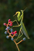 European mantis by lisans