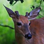 Young buck by clippercarrillo