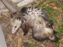 Virginia Opposum with young by Destroyah93