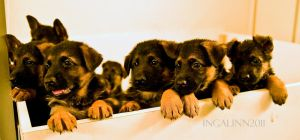 Pretty German Shepherd Puppies by Ingalinn