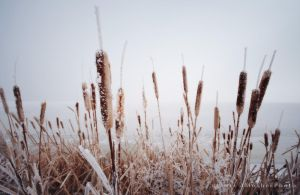 Crystal Cattails by jdmimages