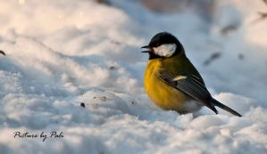 Great Tit2 by PictureByPali