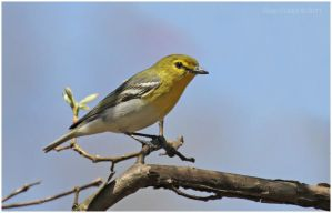 Yellow-throated Vireo by Ryser915