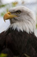 0311 - Bald Eagle by Jay-Co