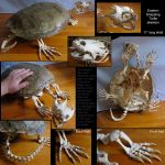 Articulated Snapper Skeleton by BluesCuriosities