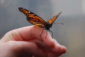 Monarch Butterfly Stock 4 by chamberstock