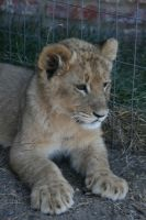 Lion Cub I by RaeyenIrael-Stock