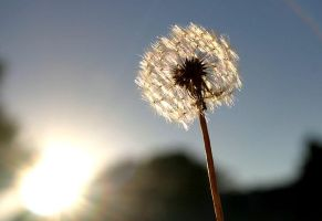 dandelion just before sunset by philichino