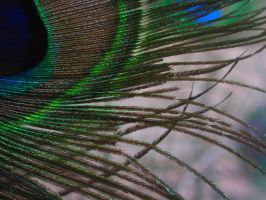Peacock feathers 11 by ArcadianSpaceship