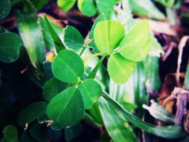 Clover Leaves by mayairy