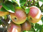 Apples On The Tree by jim88bro