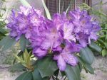 Rhododendron by AgnessAngel