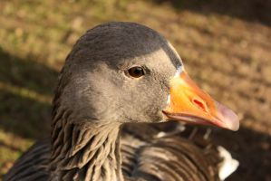 Duck closely by Valadj